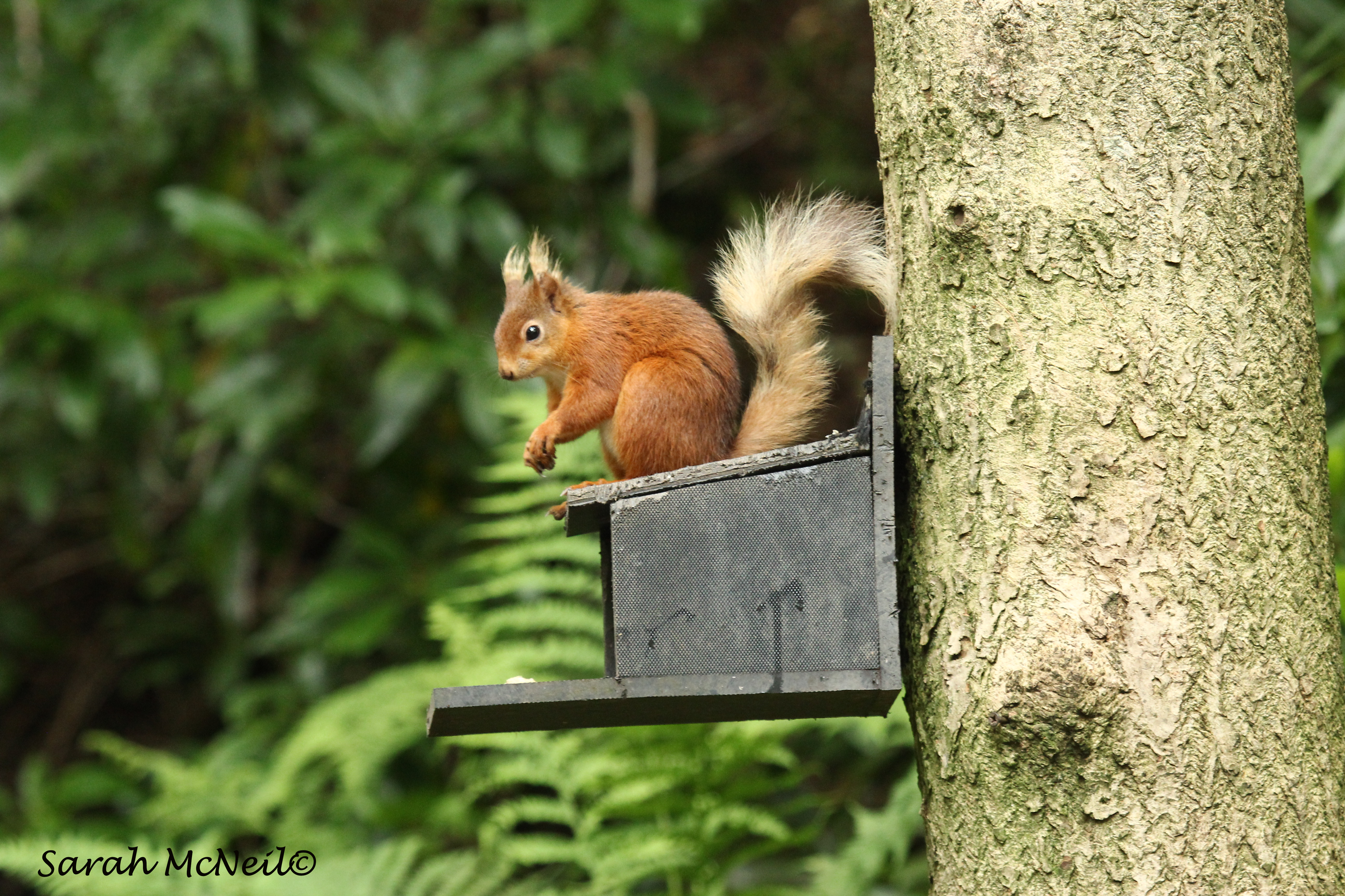 Red_squirrel_on_feeder_by_Sarah_McNeil